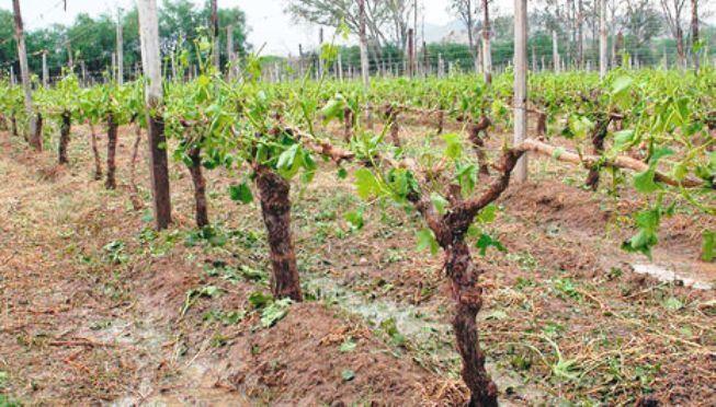 Agroseguro adelanta un millón para indemnizaciones por daños en el viñedo en CLM