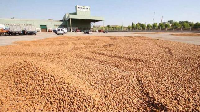 Cooperativas prevé que la cosecha de almendra aumente un 88% en Castilla-La Mancha