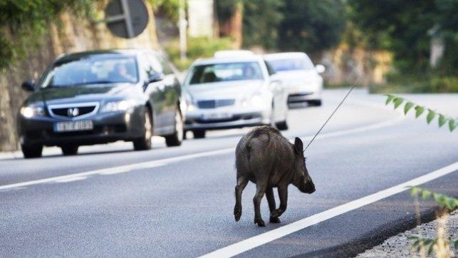 El jabal la especie de caza mayor que m s accidentes - Jefatura provincial de trafico de albacete ...