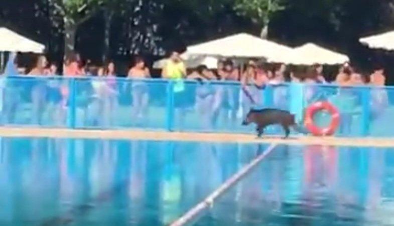 Un jabal se cuela en la piscina de tomelloso donde lleg for Piscina municipal albacete