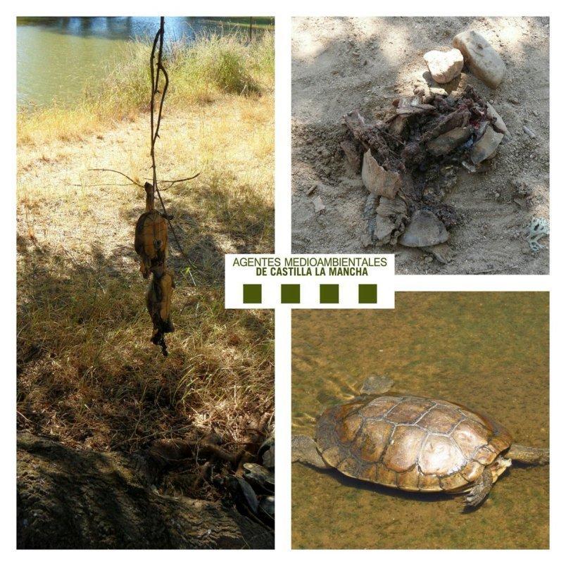 Agentes Medioambientales alertan sobre la muerte de galápagos leprosos en CLM