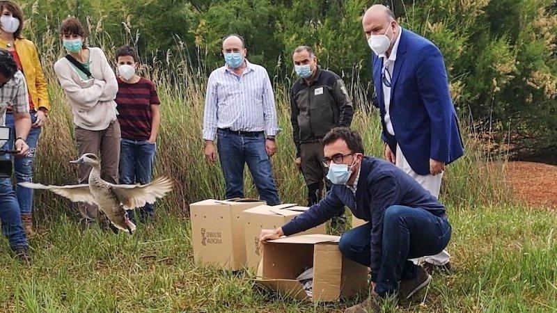 Sueltan cercetas pardillas, en peligro de extinción, en el Lagunar de Alcázar