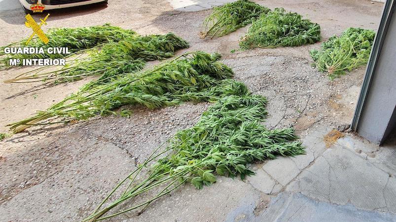 Un investigado en Cuenca por cultivar plantas de marihuana, que pesaron 28 kilos
