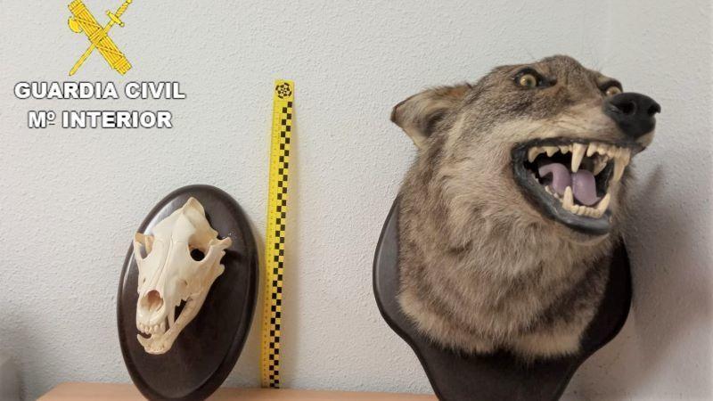 La Guardia Civil incauta en Burujón un oso pardo y una cabeza lobo disecados